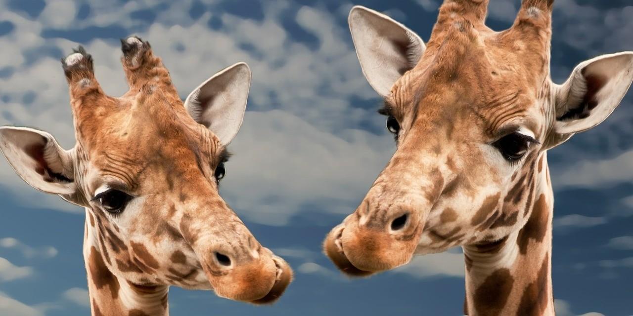 Match Group Aktie investieren - Zwei Giraffen schauen sich gegenseitig an